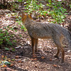 Gray Fox at Veggie Scrap Pile - Beautiful Form