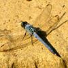 Male Eastern Pondhawk Dragonfly (Erythemis simplicicollis)
