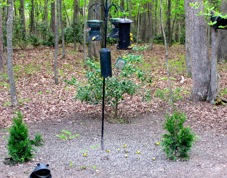 Flock of Male American Goldfinches on Feeder and Ground