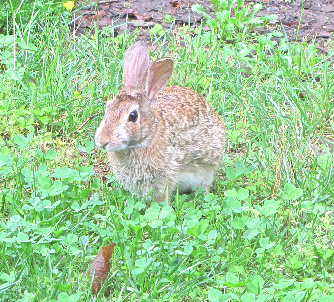 "Rabbits Love The Clover We Planted For Them in The Grass White Clover is a huge asset to your lawn.  It eliminates most of your grass work including fertilizing.  See this article:  <a href=""http://www.thenatureinus.com/2009/09/lawns-clover-mix-alternative.html"">Make Lawn Work Disappear</a>."