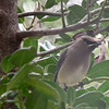 Cedar Waxwing Passing Through<br /> These two photos are not very good since they were taken through a glass window with a reflection of the curtain on it.  They are such handsome birds I couldn't discard the photos.