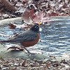 Robin Drinking From Pond