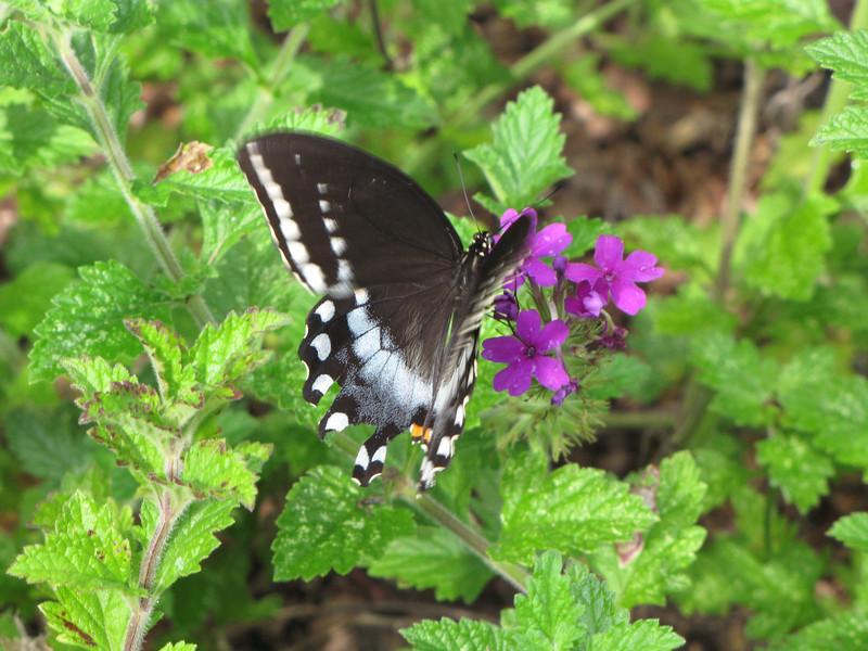 Black Swallowtail Butterfly on Verbena