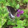 Black Swallowtail Butterfly on Verbena
