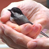 Rescued Baby Chickadee on Deck<br /> It hit the deck door and fell into the flower pot beneath it.  Wasn't a hard hit so I went out and scooped it up from the flower pot and held it for several minutes until it was out of shock and then it flew off.  How awesome!