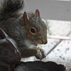 This Squirrel Has a Taste for Mealworms<br /> We have a bowl of dried mealworms out on the front porch - the bluebirds love them.  This squirrel seems to have a taste for them also.  Very odd, but you never know what squirrels are going to enjoy.