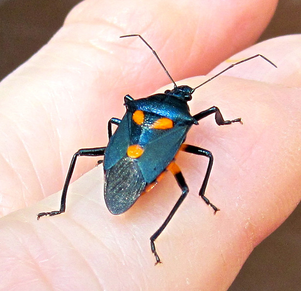 """Cool Looking Assassin Bug This beautiful bug is swift and deadly when it comes to insects.  And thankfully, they're on our side, eating pests that would normally attack vegetable and flower gardens.  There's more than 100 species of assassin bugs in North America.  The wheel bug is a familiar one due to its unusual name (<a href=""""http://www.thenatureinus.com/2008/05/assassin-bugs.html""""><b>find info and photo here</b></a>).  Adults are about 3/4"""" or more in length with a sharp, curved, daggerlike mouth held under their body until it's time to eat.  Then they ambush their prey and pierce it with this """"sword"""" and inject with a lethal toxin which kills the insect in seconds and then liquifies its insides to be sucked up like a milkshake.  Not a pretty picture, but consider the job they do for you in the garden!  They eat tomato hornworms, potato beetles, leafhoppers, cucumber beetles, Mexican bean beetles, aphids and caterpillars of all sorts, which is the only downside since some caterpillars are beautiful butterflies and moths."""