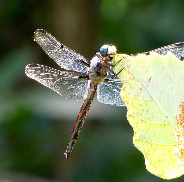 Dragonfly on Edge of Chestnut Oak Leaf