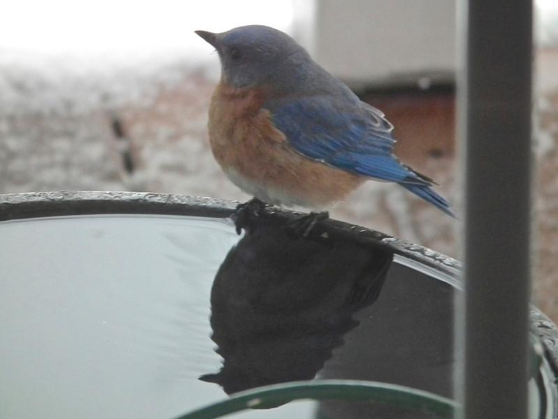 Bluebird at Heated Bird Bath on Front Porch