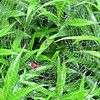 Spider in Web After Rainfall - On Obedient Plant