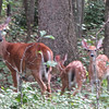 Mama Love Deer with Fawns