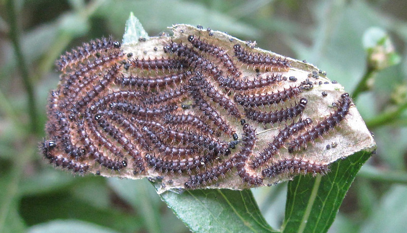 """Silvery Checkspot Caterpillars (Chlosyne nycteis) on Green-headed Coneflowers <a href=""""http://is.gd/GZbrLa""""><b>View adult butterfly photo</b></a>."""