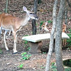 """Love Deer"" Watching Over Two Abandoned Fawns"
