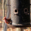 Male Purple Finch Facing Early Sunlight