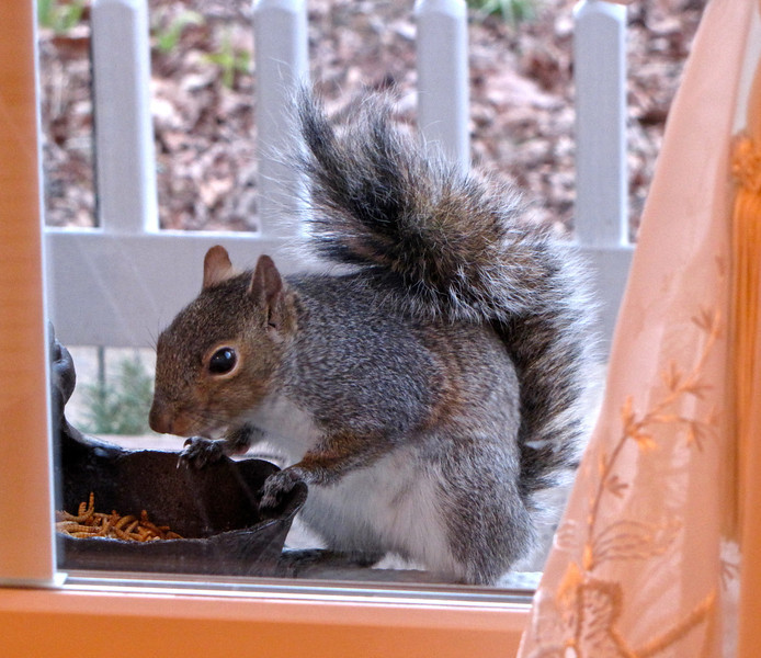 Squirrel Is Pretty As a Picture Through The Window<br /> Yum, Yum!  Mealworms for Dinner!