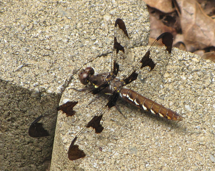 Female Whitetail Dragonfly on Concrete Border Block