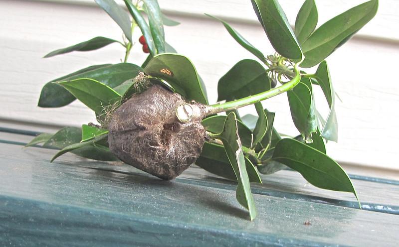 Cecropia Moth Cocoon (Hyalophora cecropia)