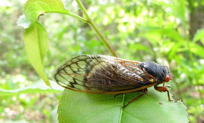 Adult 17-Year Cicada<br /> As I strolled the garden today I saw oodles of the nymph skins hanging from leaves on bushes and from low tree branches. They climb up from the ground to find a spot where they attach their feet pretty solidly (you have to give a good snatch to get them to detach). Then they begin to crawl out of that skin and become a full-bodied Cicada with beautiful red eyes and large wings. Cicadas eat foilage so they're not welcome guests.