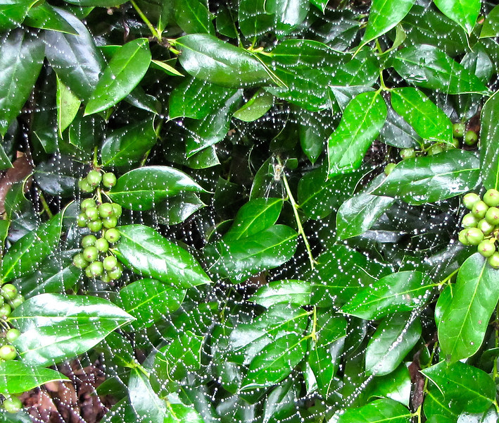 Spider in Web After Rainfall - On Holly Bush