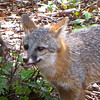 Gray Fox Facial View - So Alert and Active<br /> Looks like they really keep themselves cleaned up.  Looks like it just had a bath.