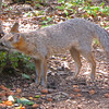 Gray Fox - Very Alert to Any Noise