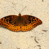 Great Spangled Fritillary Butterfly on Concrete Stepping Stone