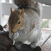 Mealworm Eating Squirrel