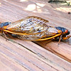 Mating Cicadas on Deck