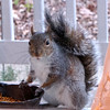 "Squirrel Gives Me ""The Look"" For The Camera Glare<br /> ""What do you mean squirrels don't eat mealworms?  I love them!"""