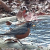 Robins Return For Holly Berries and a Drink From the Pond