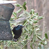 Common Grackle Migrating Through - It's Soon Spring!