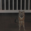 Grey Fox on Our Deck One Evening