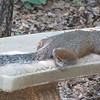 Squirrel Having a Dog Day of Summer in Virginia<br /> Our squirrels love the concrete benches for a break now and then.  This one is right behind the pond so that a drink is nearby.