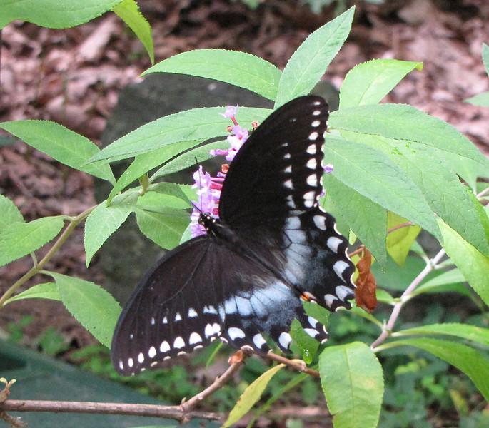 Black Swallowtail Butterfly on Butterfly Bush