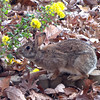 Rabbit Nibbling on Heritage Chrysanthemums<br /> Mommy said to smell before eating to make sure it's good for me.