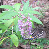 Black Swallowtail Butterfly on Butterfly Bush
