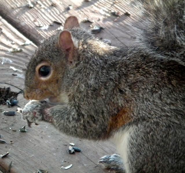 Keeping an Eye on Injured Squirrel - 3/7/13