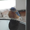 Bluebird at Heated Bird Bath on Front Porch