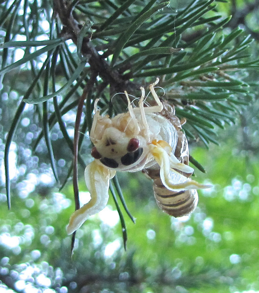 Adult Cicada Coming Out of the Nymph Skin