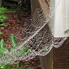 Spider in Web After Rainfall - From Rosemary Bush to Deck