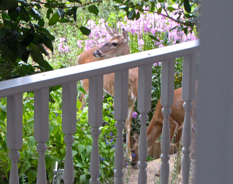 Mama Love Deer and Two Babes on Front Walkway