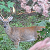 Young Male Deer with Antlers