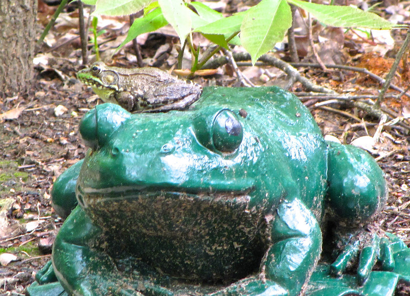 "Green Frogs Return to Bluebird Cove For the past few years we've had bullfrogs in our small pond.  Much smaller than they would choose for habitat, but the huge pond across the street had problems and they drained it to fix it.  That was the year we had the bullfrogs arrive.  They are huge and cute, but nothing survies with them.  They've been known to eat birds.  Before they arrived we had Green Frogs and they have now returned.  <a href=""http://www.thenatureinus.com/2009/08/our-missy-bullfrog.html"">More About Bullfrogs & Green Frogs</a>."
