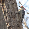 Male Red-bellied Woodpecker<br /> The male's red head extends down to the nape of the neck.