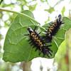 Milkweed Tussock Moth Caterpillars (Euchaetes egle)