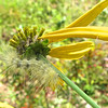 Fuzzy Caterpillar on Green-headed Coneflower <br /> On Butterfly Bank.