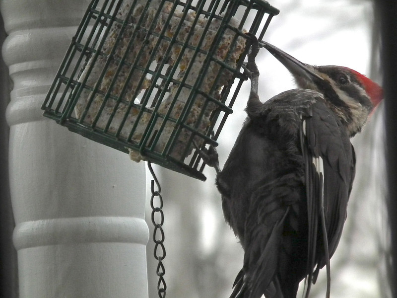 Pileated Woodpecker on Front Porch Suet Feeder