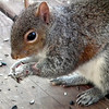 Injured Squirrel Gets Along Fine - 3/7/13