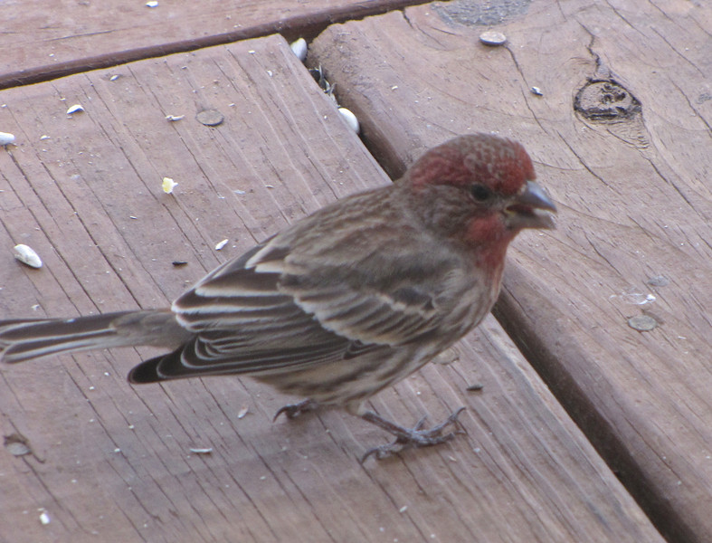 Male House Finch on Front Porch
