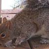 Injured Squirrel Is Doing Better A Month Later